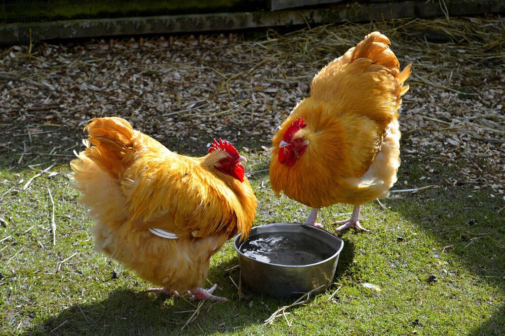 """煲鸡汤时,记住""""3用2不用"""",鸡汤清亮鲜香,腥味小味道正"""