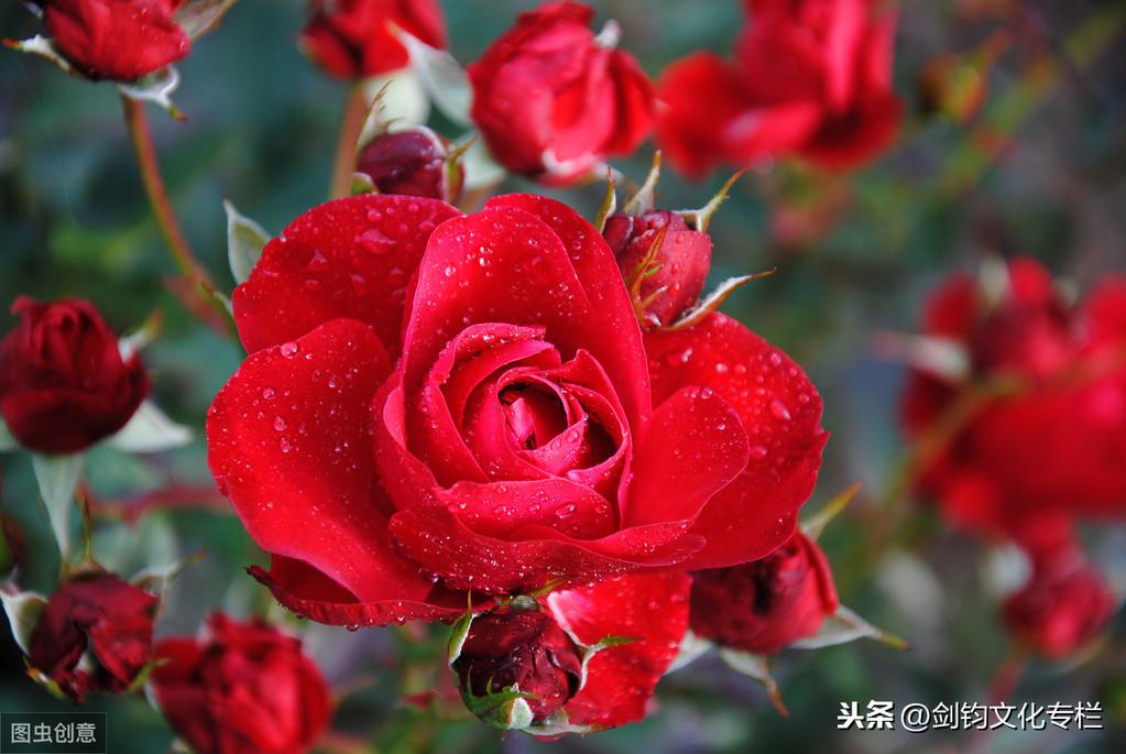 名家|史鐵生|夏天的玫瑰