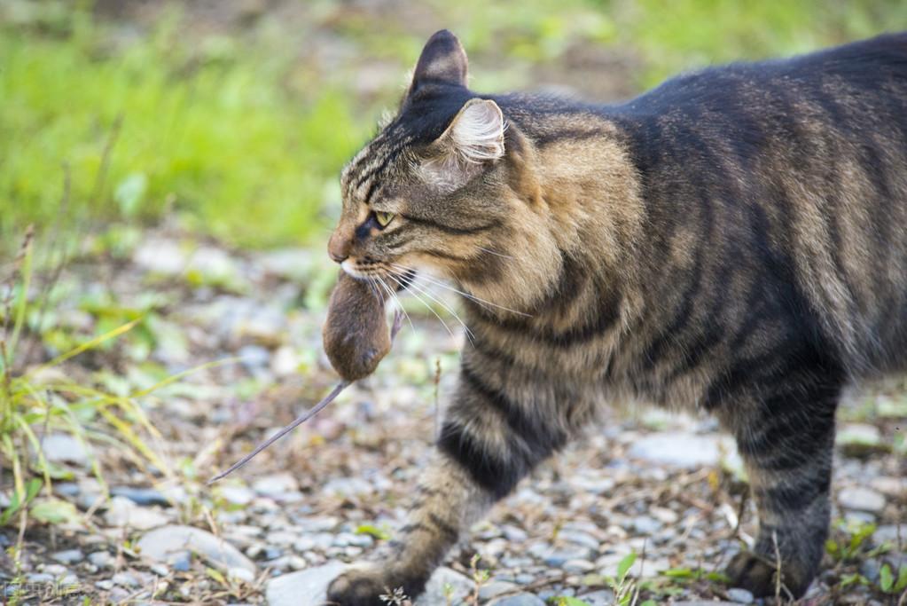 狸花猫,养过的人才知道,它有多优秀