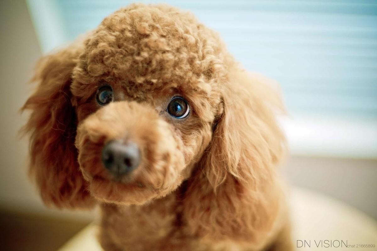 """泰迪犬这5种""""搞笑""""行为,很可能是生病了,宠主要重视!"""