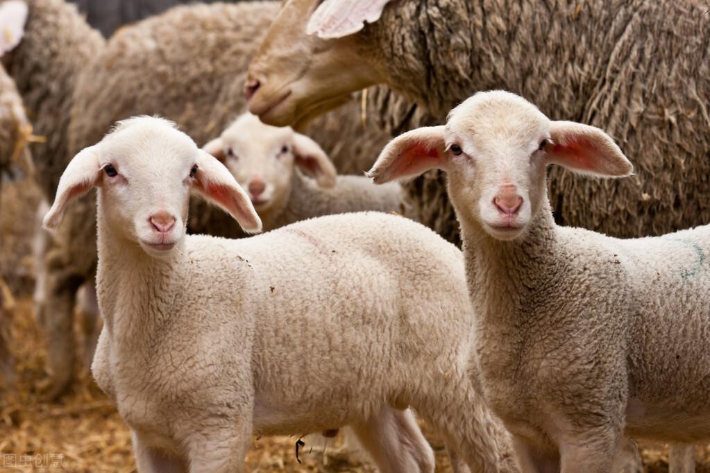 犊牛开口料、羔羊开口料,牛羊不开口吃怎么办?