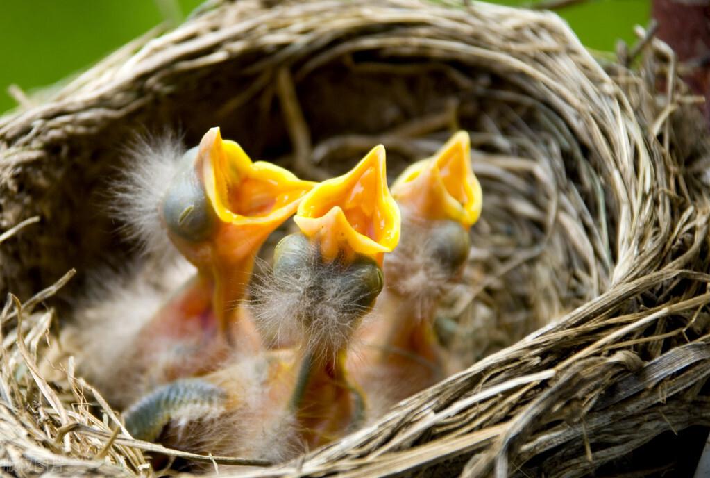 很多鸟窝都露天朝上,遇到下雨天怎么办?幼鸟不会被冻死吗?