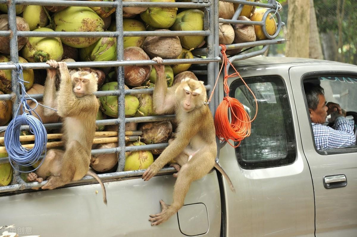 超市说,我们不卖泰国椰子了,谁让你们用猴子摘椰子的?