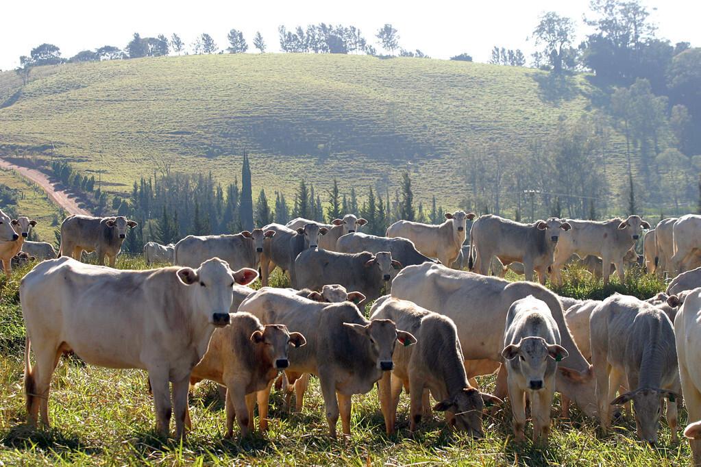七八百斤的育肥牛更换精料、补饲精料需要注意哪些?