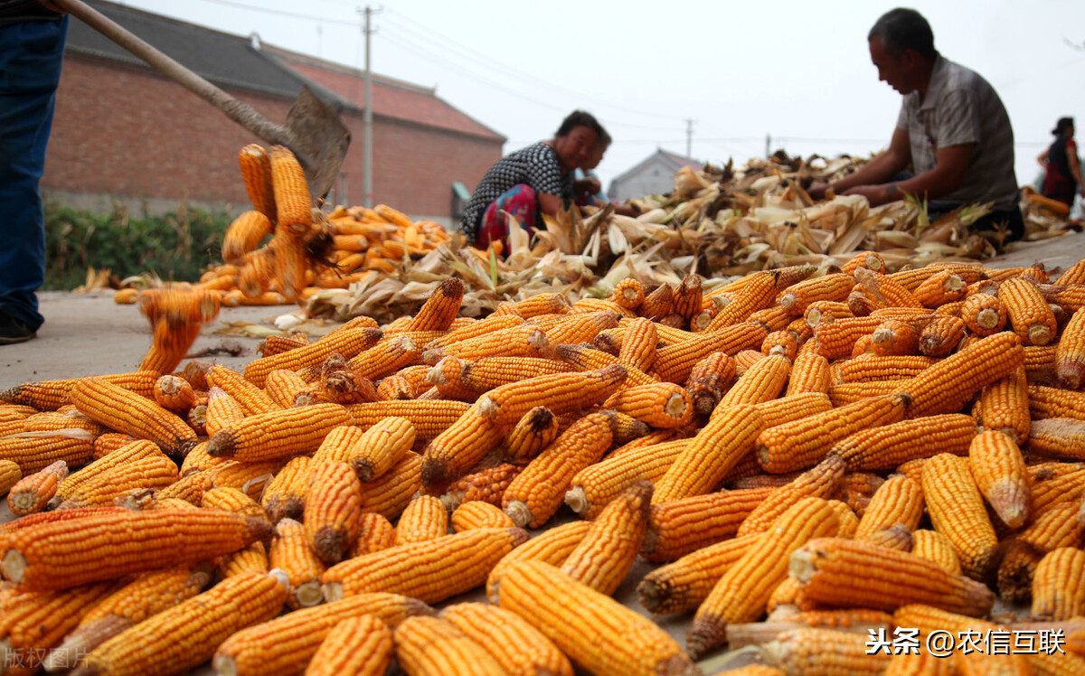 官方:秋收顺利!粮食产量连续6年超1.3万亿斤!玉米要跌价?