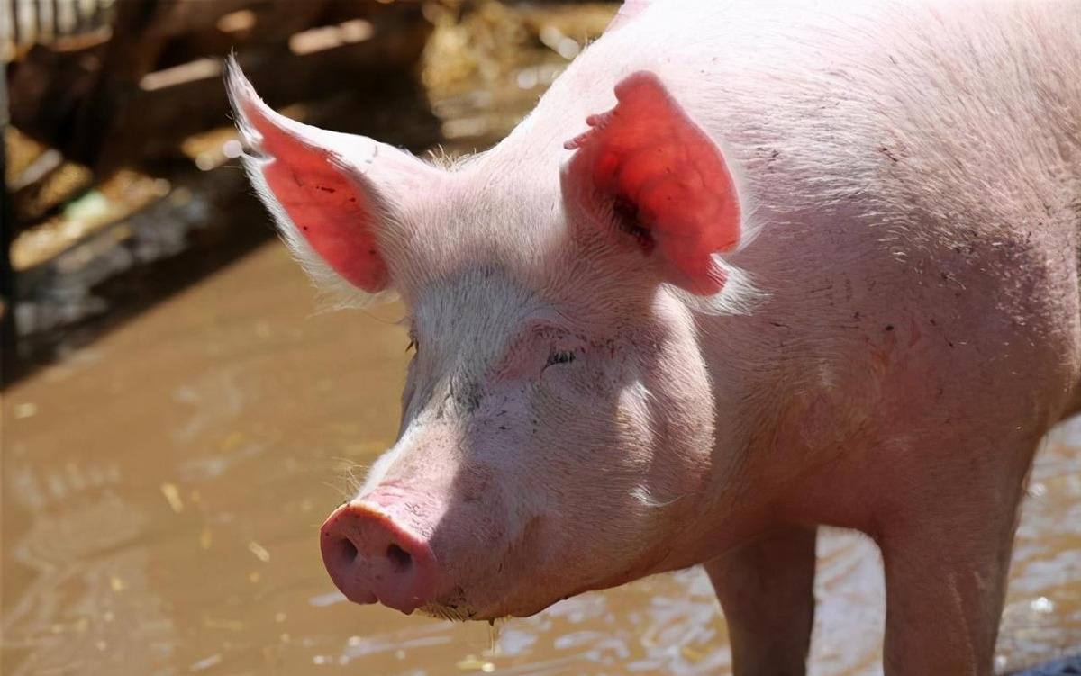 """肉价""""遇冷暴跌"""",猪肉跌破20元一斤,年底要跌到15元一斤?"""