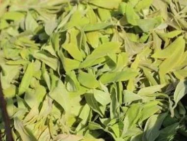 """老鹰茶,植物学名为""""毛豹皮樟"""",老鹰喜欢它,人类也喜欢它"""