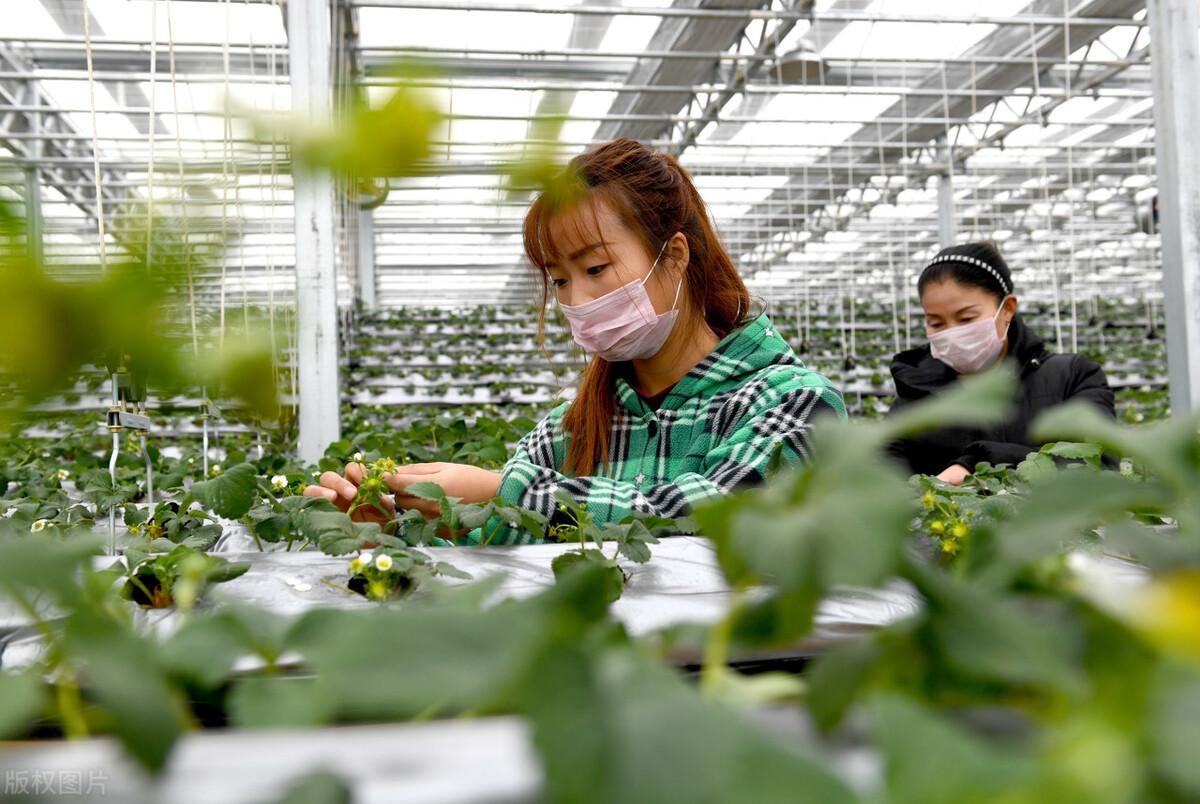温室百科之草莓立体栽培技术