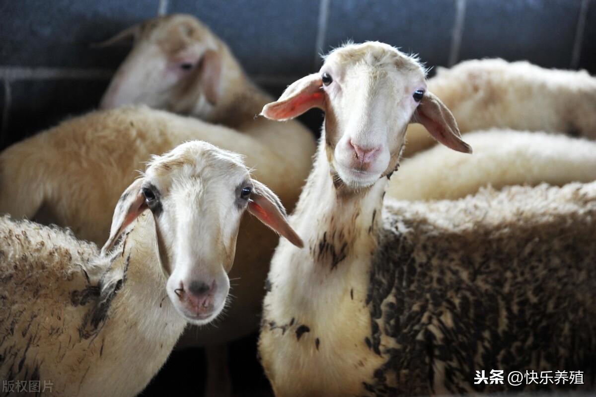 羊价持续走高,为何有人养羊还是赔钱?