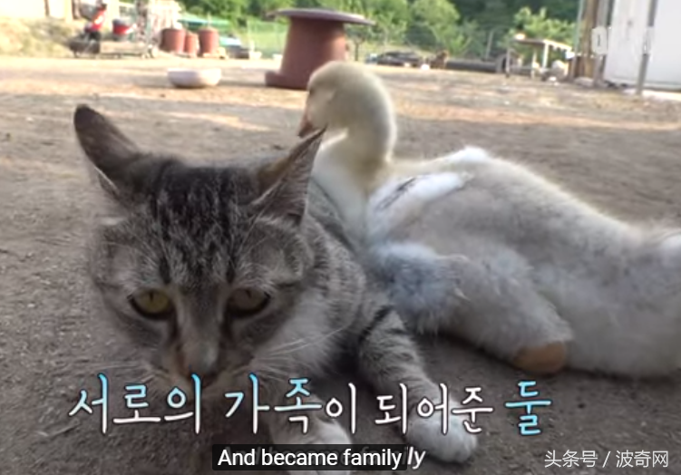 小猫死亡后,猫妈妈抓来刚出生的小鹅,每天为它舔毛喂它食物