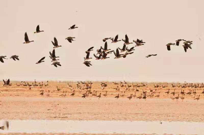 河南中牟:成群迁徙候鸟越冬