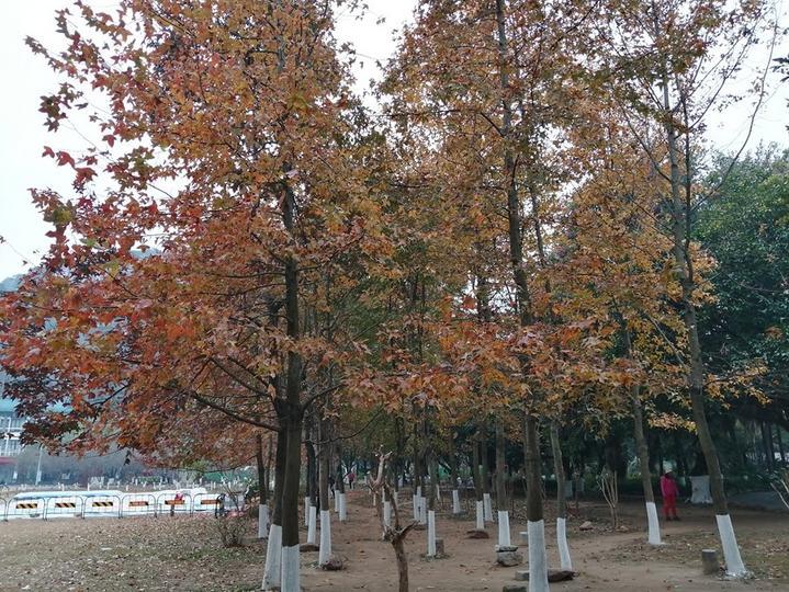 桂林300年古枫树红如火焰,绽放出红色力量,见证了烽火岁月