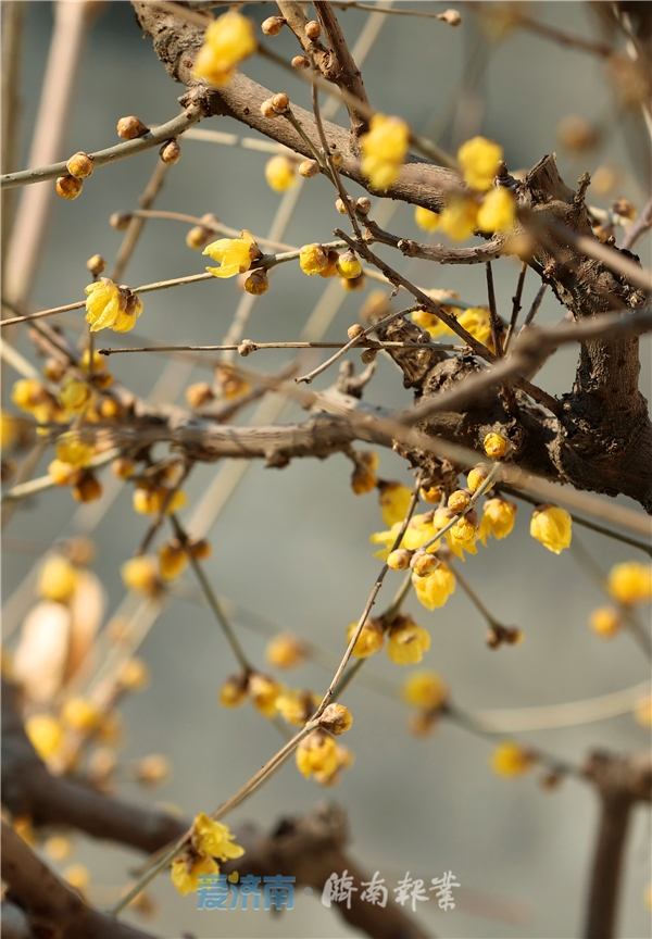 真香,济南趵突泉畔的蜡梅开了!小寒梅新 疏枝冷蕊最撩人