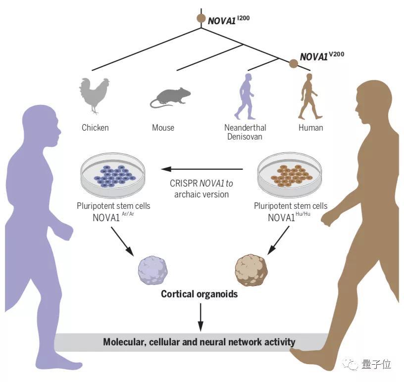 Science:人类在实验室创建了微型大脑,含祖先基因的那种