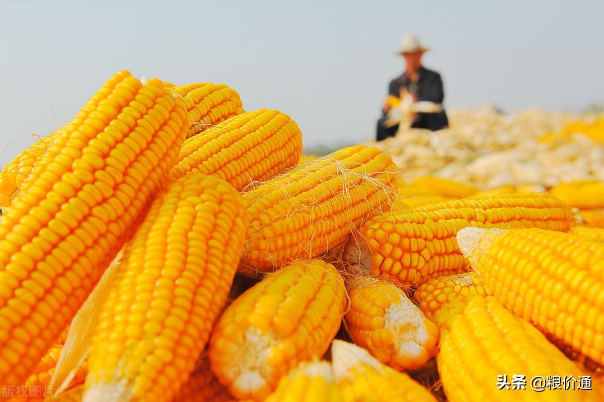 玉米漲猛了!2個重要訊號,新一輪漲價潮開始!5月12日玉米行情