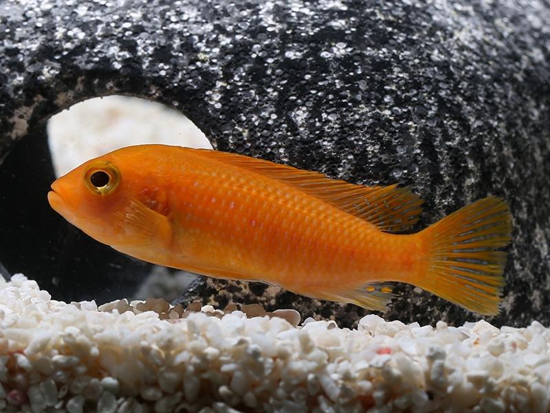 什么是三湖慈鲷鱼,最普通最常见的三湖慈鲷鱼是什么