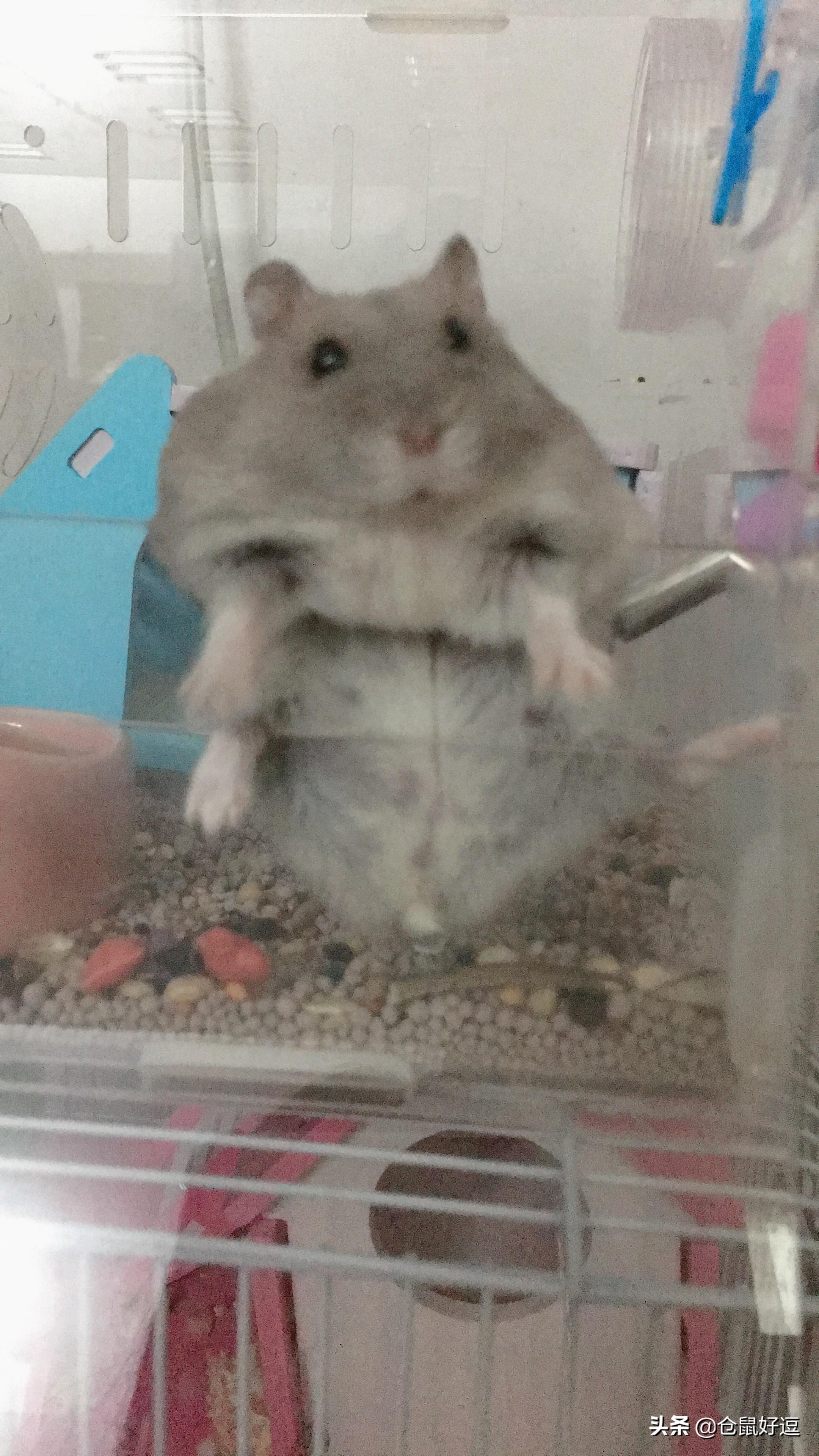 小仓鼠应不应该多吃瓜子和面包虫呢?
