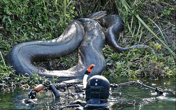 迄今为止已知的最大的蛇是泰坦巨蟒,它是最危险的物种吗?