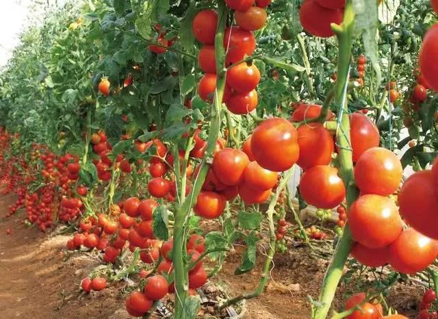 手把手教你种西红柿!掌握水肥管理技巧,一棵能结一大堆