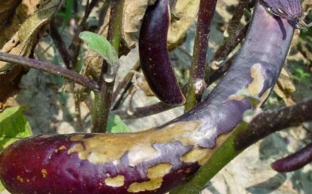 茄子绵疫病如何治?掌握发病规律,及早及时用药很有效