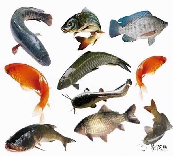 厨房常用的油盐酱醋和面碱及明矾竟都是养鱼好帮手