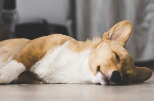 狗狗的年龄如何换算人的年龄?怎么判断狗狗的年龄?