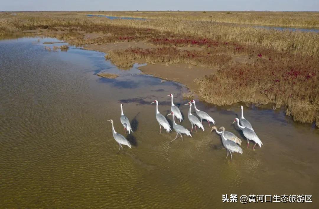 【黄河口生态旅游区】观鸟秘境 湿地与鸟共和谐