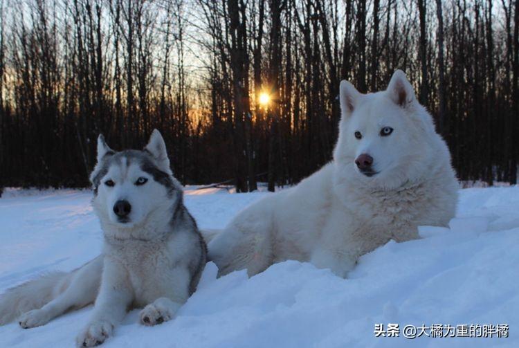 """犬界里最贪吃的6种狗狗,""""雪橇三傻""""都聚齐了,你喂得起吗?"""