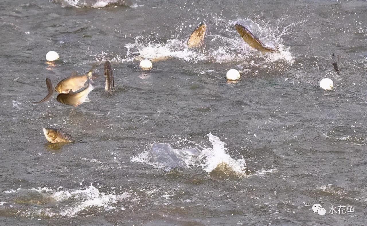 容易让人忽视的鱼类应激性病症——水产养殖中应激反应的防控措施