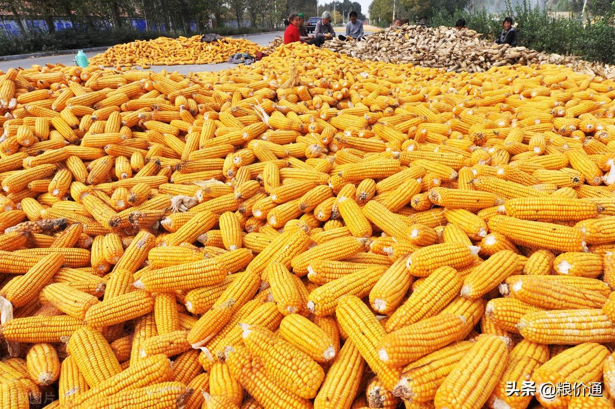 玉米下跌潮结束,2个好消息,新一轮上涨开始!4月9日玉米行情