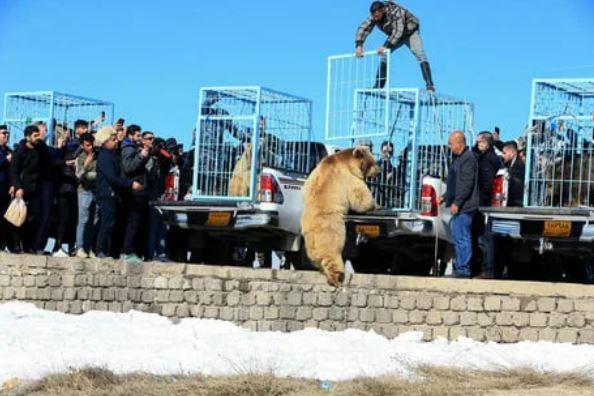 把6只棕熊放归野外,本以为是感动的画面,结果开笼就冲向人群
