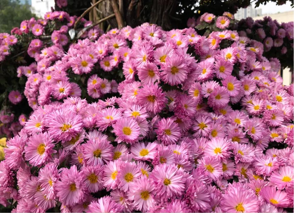 西安北郊近百亩菊花免费观赏,品种超800多种,11月底前快去