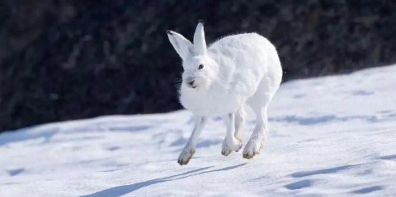 北極兔趴雪地里超萌,但這兔子只要一站起來,絕對能把你嚇到