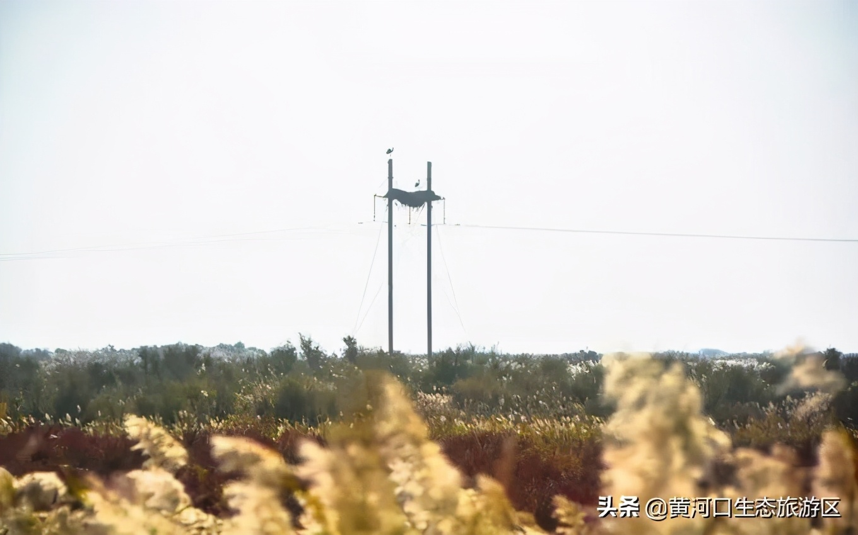 【黄河口生态旅游区】观鸟秘境 新人抢镜