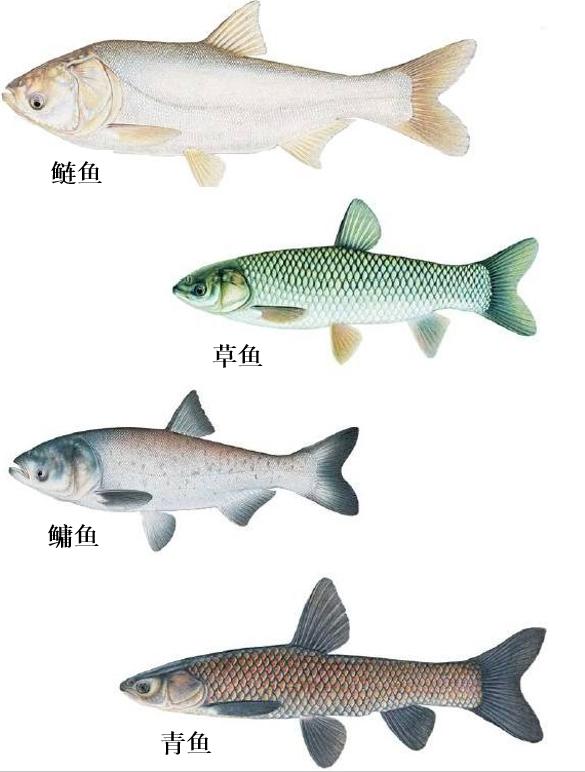 """四大家鱼:从""""野鱼""""到""""家鱼"""",用30年解开一道难题"""