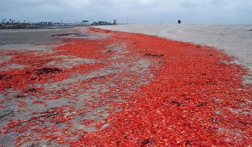 圣诞岛5000万只红蟹染红海岸,当地人为什么不捕食它们?