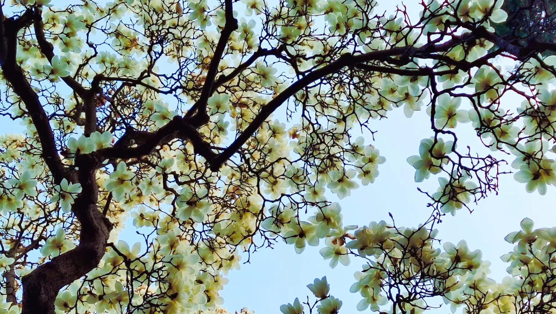长安美景:长安沣峪口净业寺——夜来春花悄然开(伟风凛冽摄)