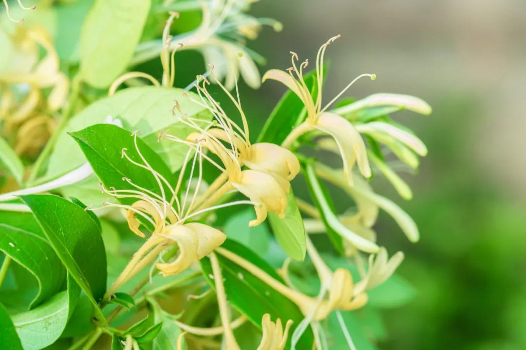 清热解毒用双花——金银花