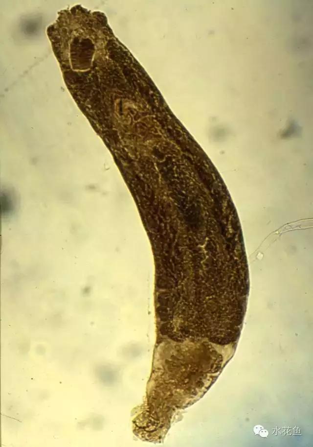 有效防治鱼类指环虫病:该虫生活史简单,生命周期短,繁殖速度快