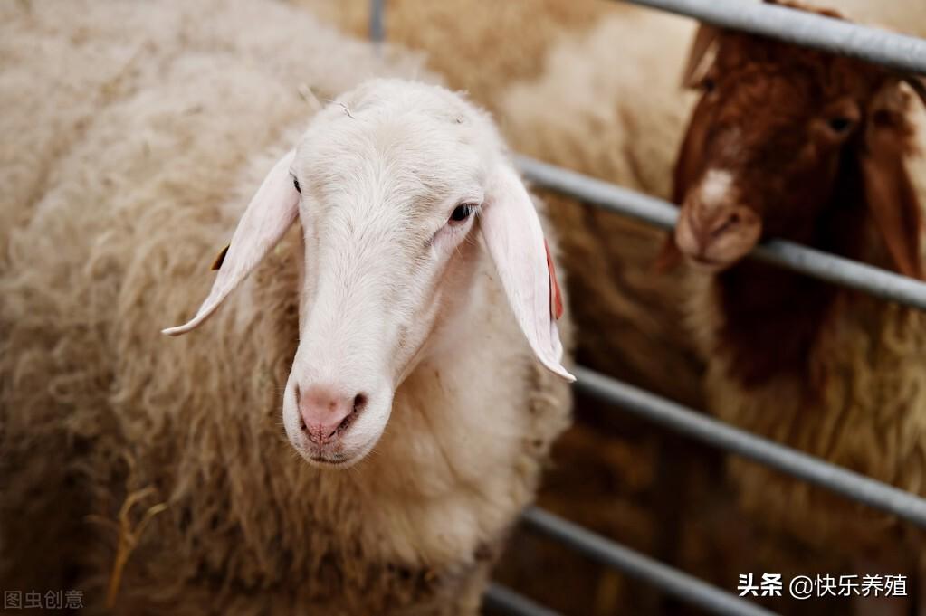 养羊啦(小尾寒羊和湖羊哪个好)