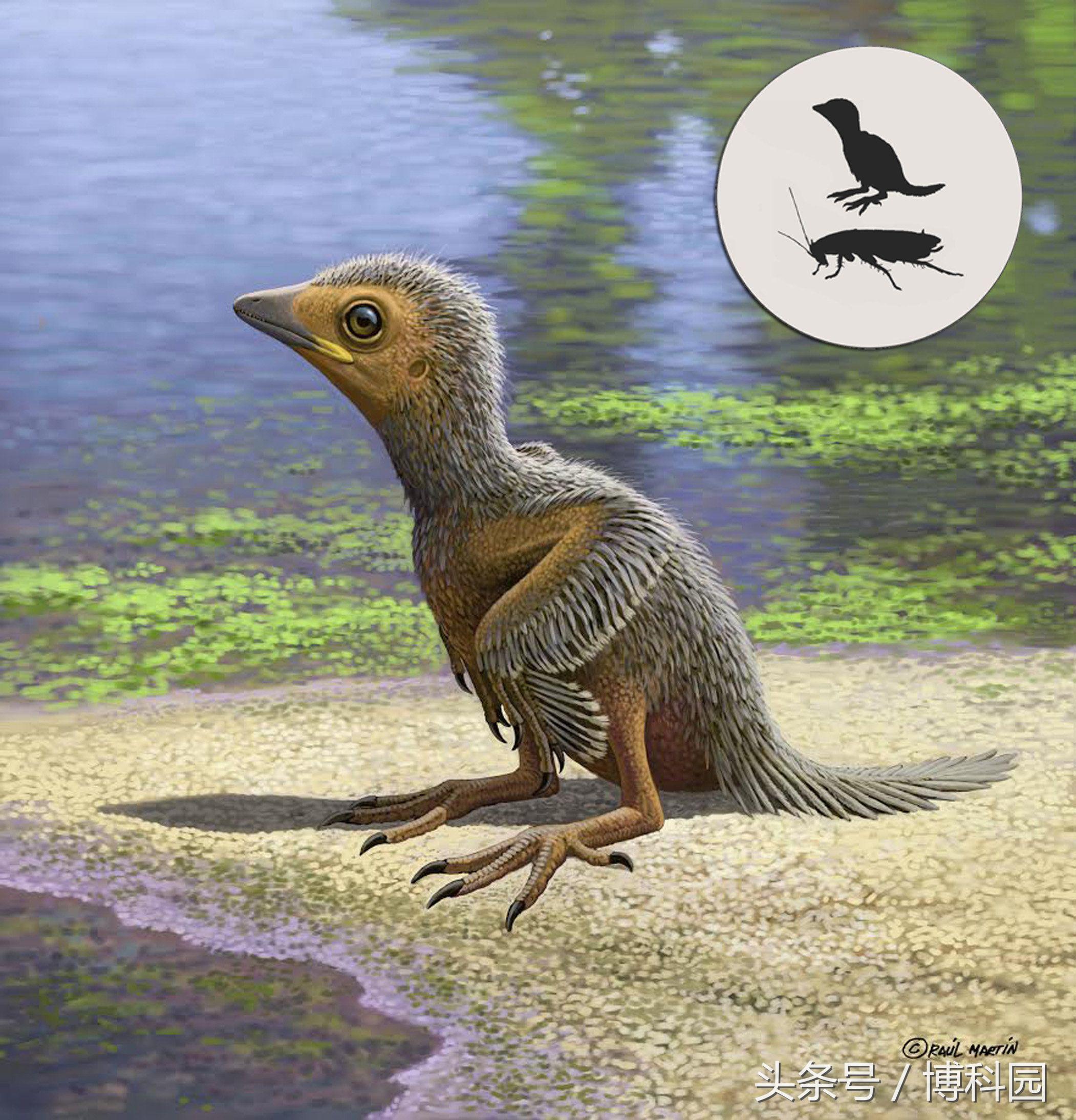 1.27亿年前的幼鸟化石揭示了禽类进化过程