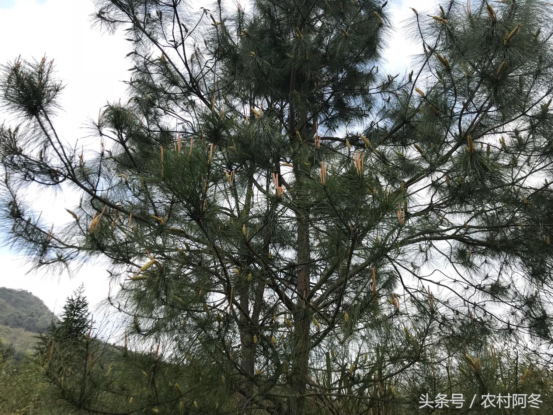 松花粉的功效与作用,松花粉的价格多少钱一斤