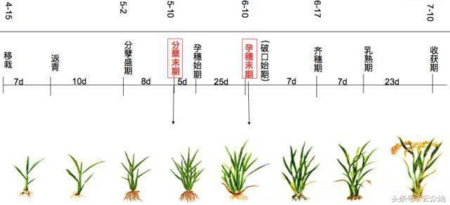 水稻种植想高产,水稻的生育栽培基础您了解多少?
