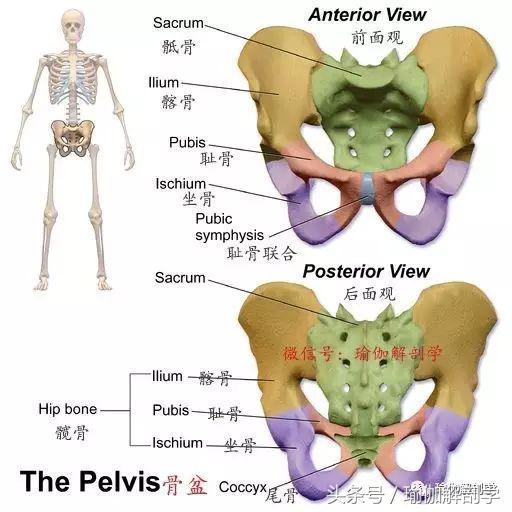 骨盆歪斜是骨盆变形了吗?练瑜伽,这些基础的骨盆解剖知识要掌握