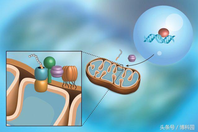 最新科学发现:一种能监测蛋白质导入线粒体的途径