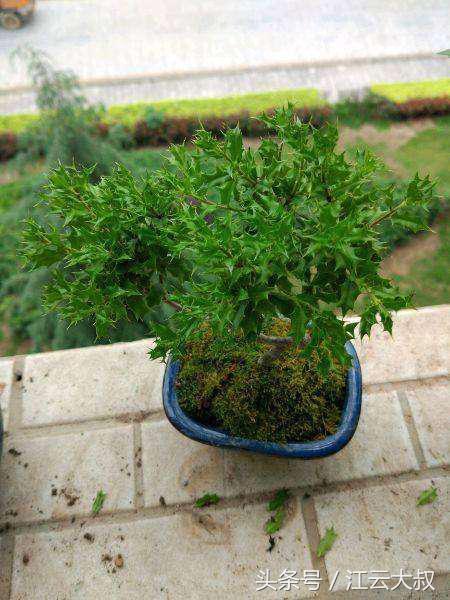 这种东西一公斤60元,在家里盆栽太养眼,浑身都是宝!