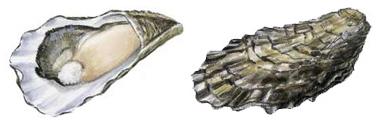 沿海旅行知识1,关于各种贝类的名字、区别、产地、吃法(上)