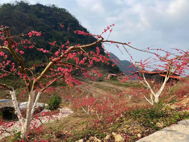 马山鹰嘴桃|桃花与云海相伴,美如画卷