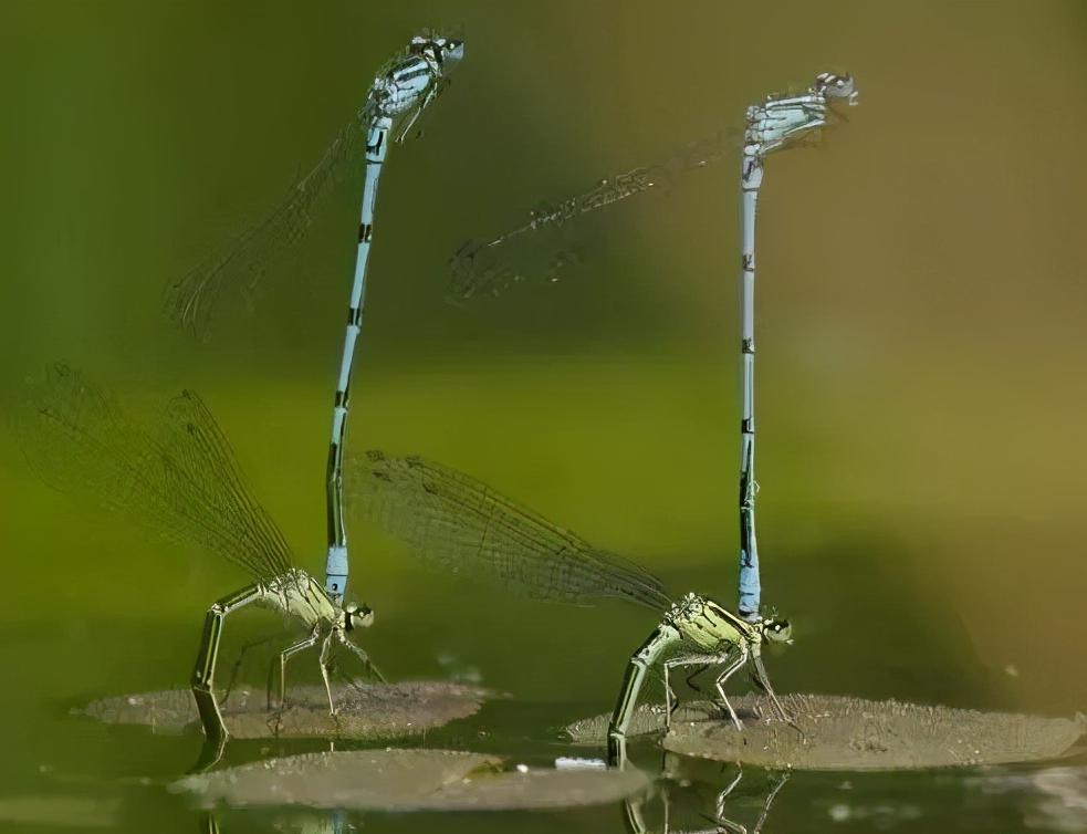 水花(魚苗)育苗:常見的八類水生敵害蟲類及其防控