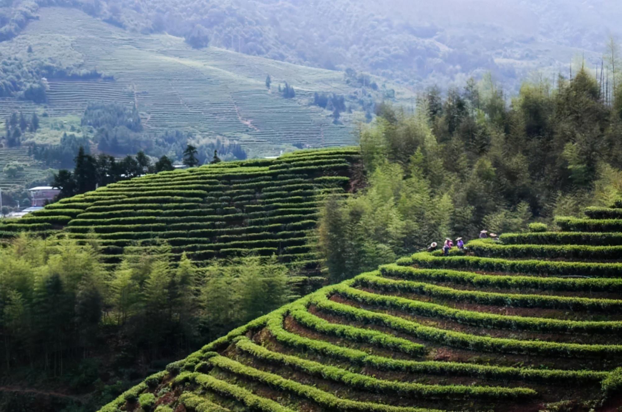 印象中村:盛名之下的漳平水仙餅發祥地與主產區